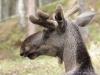 Elch im Bärenpark in Flå