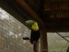Ein Swainson-Tukan im begehbaren Vogelgehege