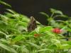 Im Schmetterlingshaus der La Paz Waterfall Gardens