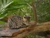 Baumozelot im Gehege der Jungle Cats