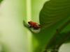 Ein Erdbeerfrosch