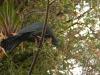 Ein Mohrenguan (Pava Negra)