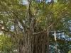Árbol Excepcional bei Cabuya
