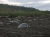 Schildkröten in Ostional