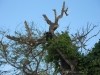 Brüllaffen am Playa Pelada