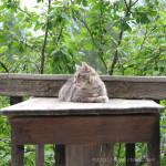 Briol-Katze